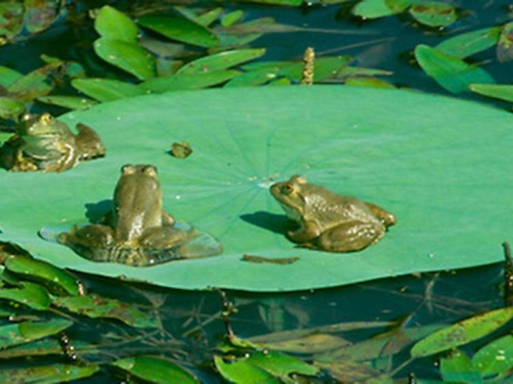 Frogs on a lily pad